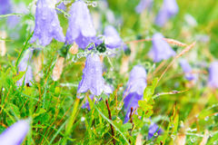 Wet blue flowers bluebell. S with water drops on the green field. Macro shot Stock Images