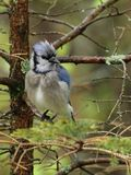 Wet blue jay Royalty Free Stock Images