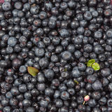 Wet blueberries Royalty Free Stock Photography