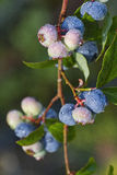 Wet Blueberries Growing on a Branch Stock Image