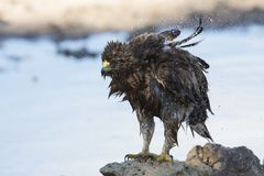 Wet Booted Eagle sit on the ground to dry out after a bath befor Royalty Free Stock Photo