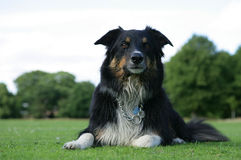 Wet border collie dog. At the park Stock Image