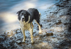 Wet border Collie Dog Royalty Free Stock Photos