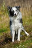 Wet border collie dog in nature. Wet border collie dog with nature background Royalty Free Stock Image