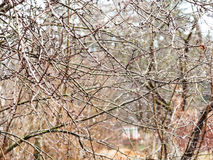 Wet brances of bare trees with raindrops in garden. Wet brances of bare trees with raindrops in country garden after spring rain Stock Images