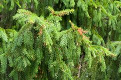 Wet branches of spruce Royalty Free Stock Photography