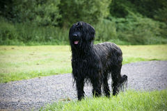 Wet briard Royalty Free Stock Photography