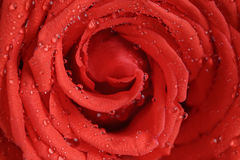 Wet bright red rose close up shot Stock Images