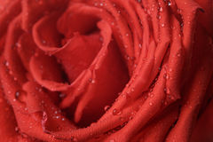 Wet bright red rose close up shot Stock Image