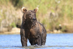 Wet brown bear standing in river Stock Photos