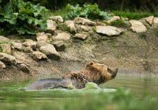 Wet brown bear taking a bath Royalty Free Stock Photo