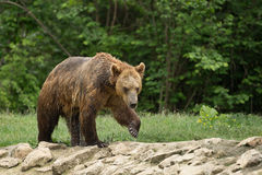 Wet brown bear after taking a bath Royalty Free Stock Photo