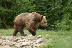 Wet brown bear walking after taking a bath Royalty Free Stock Image