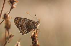 Wet brown butterfly Stock Photography