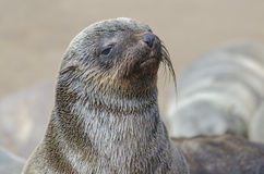 Wet brown fur seal pup Royalty Free Stock Photography