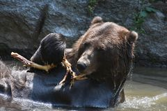 Wet brown grizzly playing with a tree branch Royalty Free Stock Image