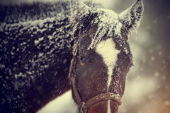 Wet brown horse in snow. Royalty Free Stock Photos
