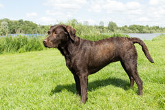 Wet brown labrador standing in a grass field Royalty Free Stock Photos