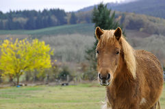 Wet brown pony portrait in front of landscape Royalty Free Stock Image