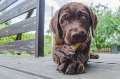 Brown labrador puppy lying and looking at camera. Wet brown puppy labrador dog is lying and looking at camera and eating a bone stock photography