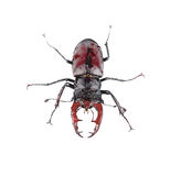 Wet brown stag beetle Stock Image