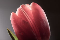 Wet bud of the red tulip closeup on dark background Royalty Free Stock Photos
