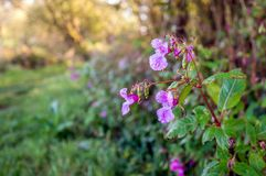 Wet buds and flowers of a Himalayan Balsam plant Stock Photos
