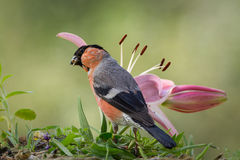 Wet bullfinch Royalty Free Stock Image