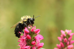 Wet Bumble Bee Stock Images