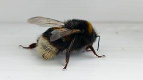 Wet bumble bee - 4K stock video footage