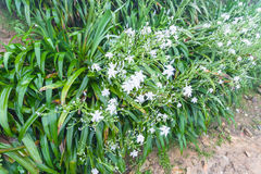 Wet bushes with white lily flowers in spring. Travel to China - wet bushes with white lily flowers in spring rain in rainforest area of Dazhai Longsheng Rice Stock Image