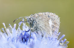Wet butterfly on a blue flower Stock Photo