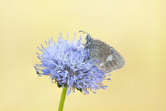 Wet butterfly on a blue flower Royalty Free Stock Photos