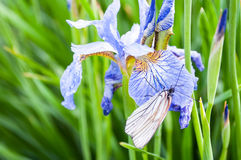 Wet butterfly dries on flower. Wet butterfly dries on the flower of iris Royalty Free Stock Photography