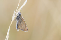 Wet butterfly on a plant straw. Wet butterfly on plant straw wait for the sun to dry it up Royalty Free Stock Images