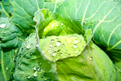 Wet Cabbage stock photos