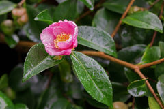 Wet Camellia tea flower tsubaki in pink petal with yellow stam Royalty Free Stock Image