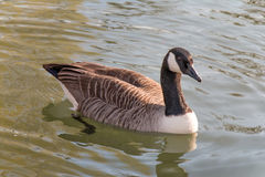 Wet Canada Goose in the river Royalty Free Stock Photography