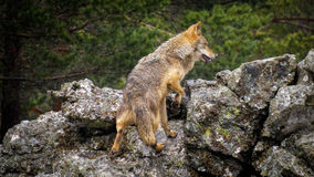Wet Canis Lupus Signatus climbing rocks while raining. Whole wet Canis Lupus Signatus climbing rocks, rear view, raining Royalty Free Stock Photography