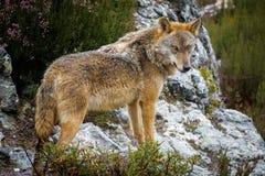 Wet Canis Lupus Signatus over rocks. Whole wet Canis Lupus Signatus over rocks, side view Royalty Free Stock Image