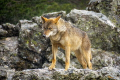 Wet Canis Lupus Signatus watching over rocks while raining. Whole wet Canis Lupus Signatus over rocks looking at the horizon, front view, raining Stock Photo