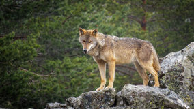 Wet Canis Lupus Signatus watching over rocks while raining Royalty Free Stock Images