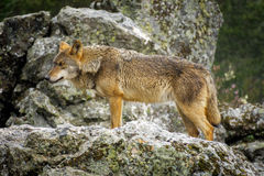 Wet Canis Lupus Signatus watching over rocks while raining. Whole wet Canis Lupus Signatus over rocks looking at the horizon, side view, raining Royalty Free Stock Image