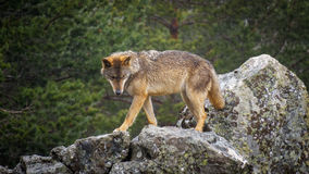 Wet Canis Lupus Signatus watching over rocks while raining. Whole wet Canis Lupus Signatus over rocks looking at the horizon, side view, raining Royalty Free Stock Photos