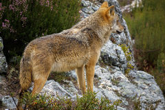 Wet Canis Lupus Signatus watching over rocks. Whole wet Canis Lupus Signatus over rocks looking at the horizon, side view Stock Photos