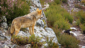 Wet Canis Lupus Signatus watching over rocks Royalty Free Stock Photography
