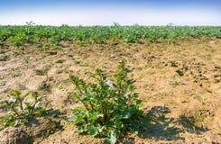 Wet canola field. Stock Image