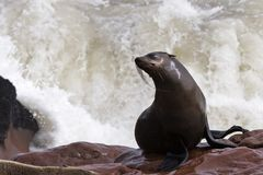 Wet cape fur seal with a splash stock images