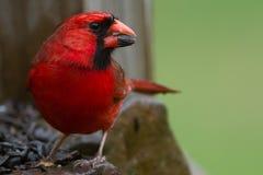Wet Cardinal Stock Photos