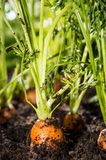 Wet Carrots in the dirt Royalty Free Stock Image